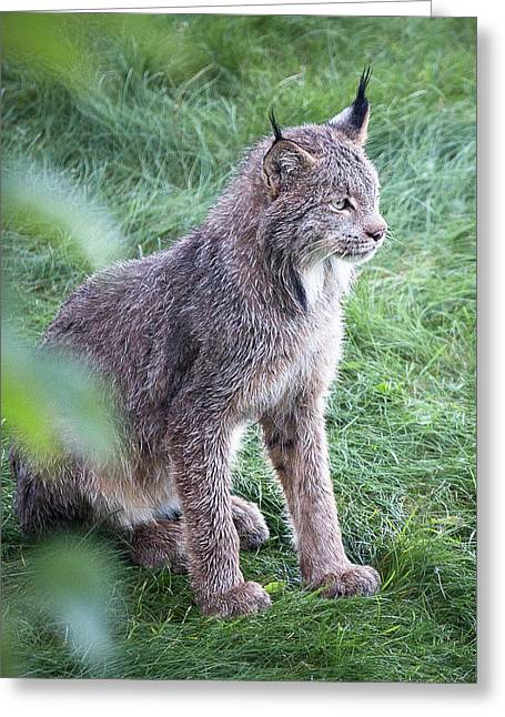 Champion Mama Lynx Greeting Card