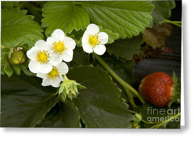 Chandler Strawberries Flowering Greeting Card by Inga Spence