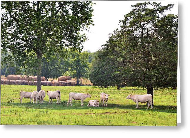 Charolais In The Shade Greeting Card by Jan Amiss Photography