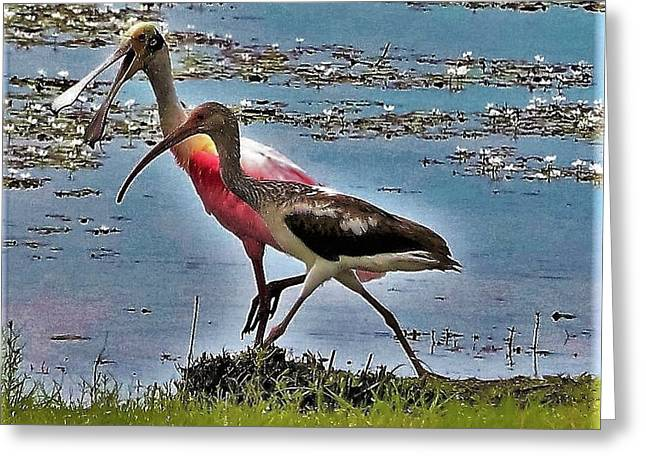 Chatty Cathy Walk And A Talk-roseatte Spoonbill And Limpkin Greeting Card