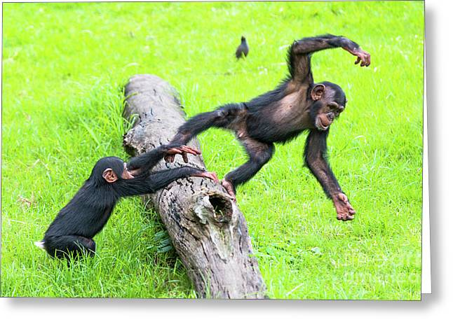 Cheeky Chimps Greeting Card by Andrew Michael