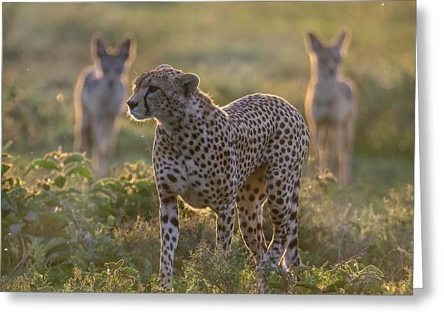 Cheetah Acinonyx Jubatus And Jackals Greeting Card by Panoramic Images