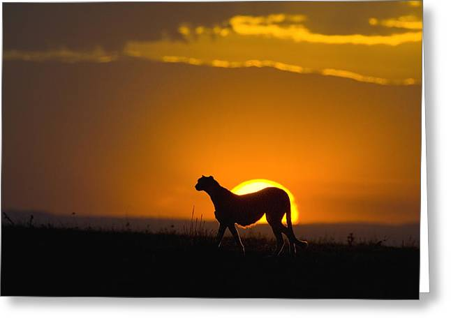 Cheetah Acinonyx Jubatus In Silhouette Greeting Card by Suzi Eszterhas