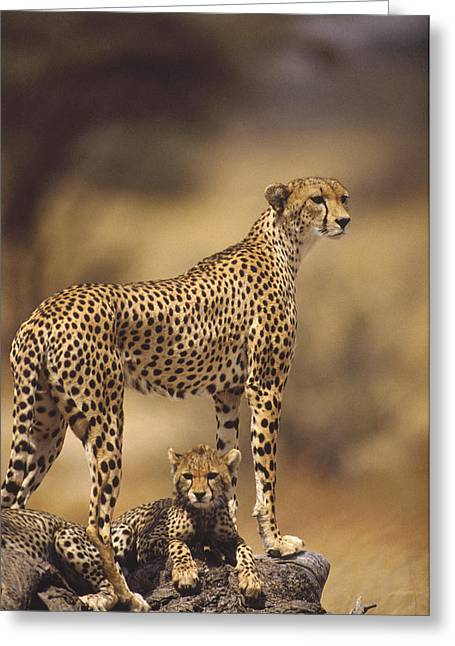 Cheetah Acinonyx Jubatus Mother With Greeting Card by Gerry Ellis