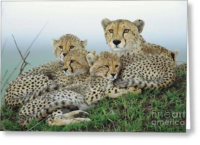 Cheetah And Her Cubs Greeting Card