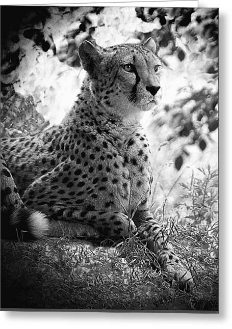 Cheetah B W, Guepard Black And White Greeting Card