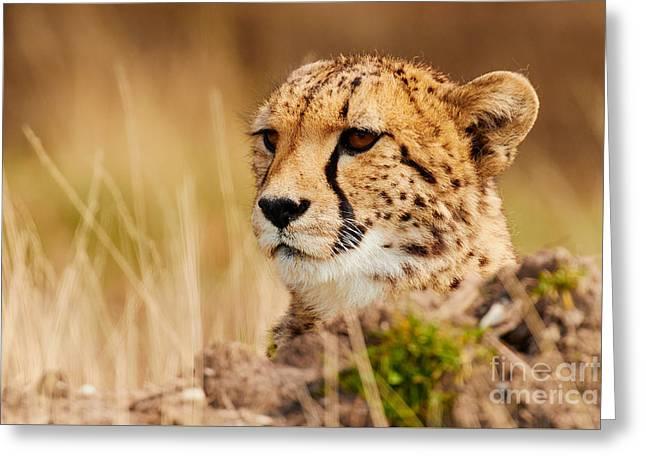 Cheetah Behind A Mound Greeting Card by Nick Biemans
