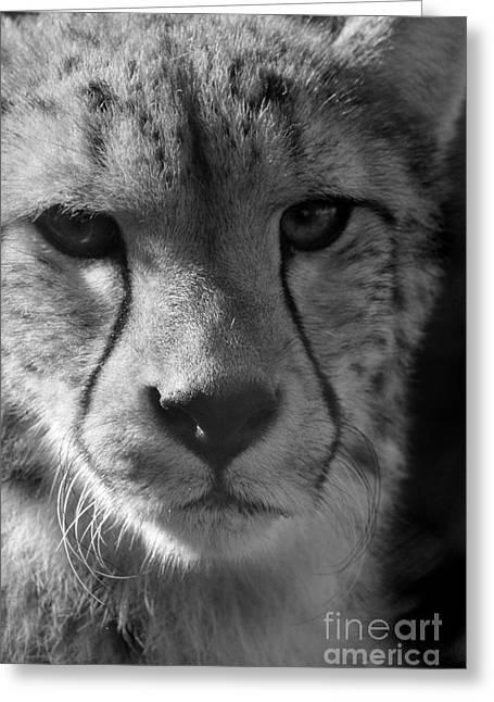 Cheetah Black And White Greeting Card by Karen Adams