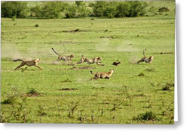 Cheetah Chase Greeting Card by Michele Burgess