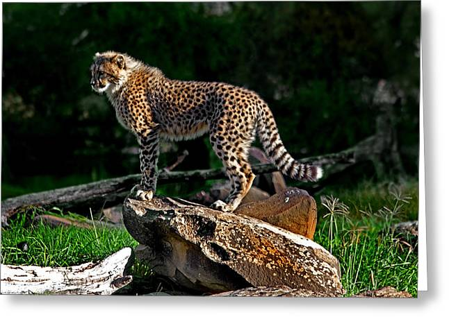 Cheetah Cub Finds Her Pride Rock Greeting Card by Miroslava Jurcik