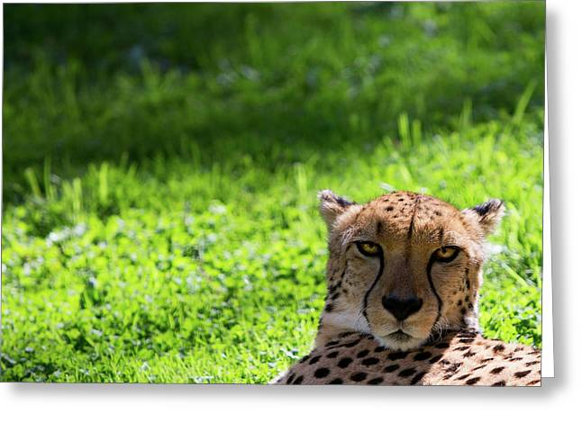 Greeting Card featuring the photograph Cheetah Face by Rebecca Cozart