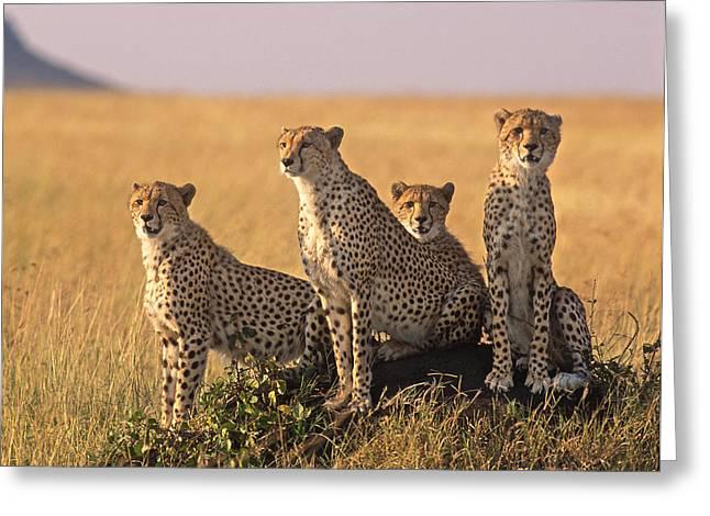 Cheetah Family Greeting Card by Johan Elzenga