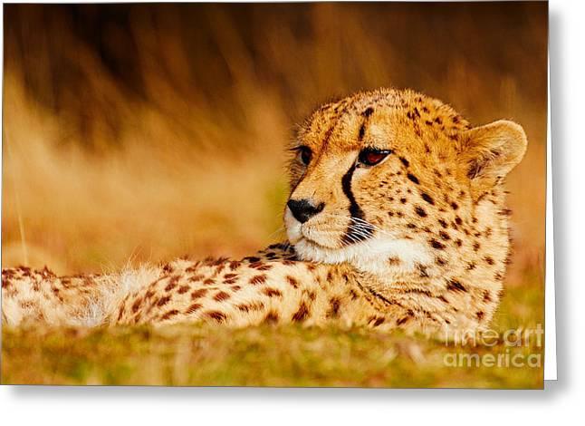 Cheetah In The Savanna Greeting Card by Nick Biemans