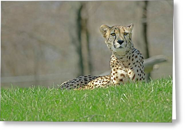 Greeting Card featuring the photograph Cheetah by JT Lewis