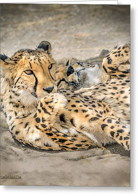 Cheetah Lounge Cats Greeting Card by LeeAnn McLaneGoetz McLaneGoetzStudioLLCcom