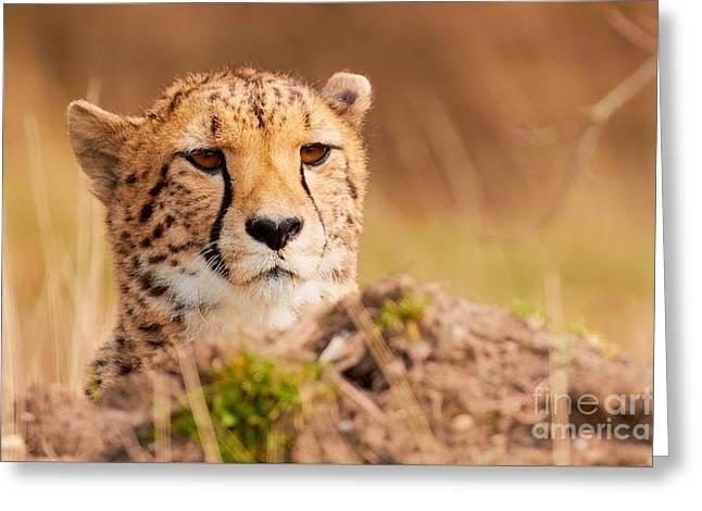 Cheetah Lying Behind A Mound Greeting Card by Nick Biemans