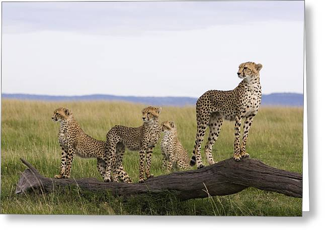 Cheetah Mother Cubs Masai Mara National Greeting Card by Suzi Eszterhas