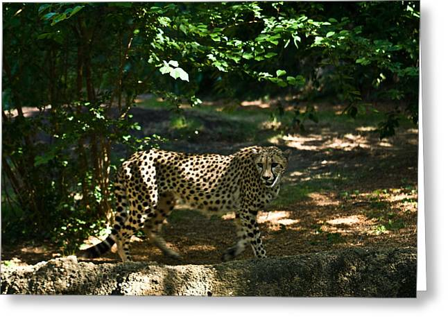 Cheetah On The In The Forest 2 Greeting Card by Douglas Barnett