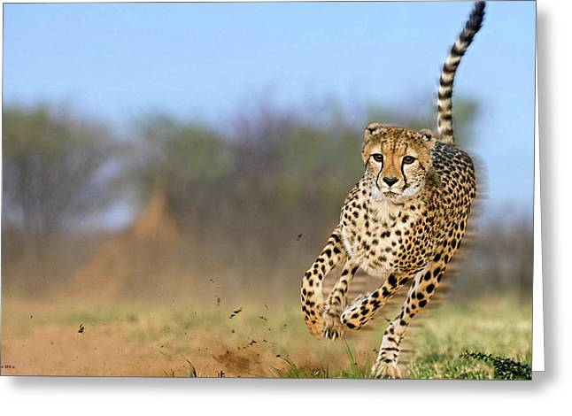 Cheetah, On The Move Greeting Card