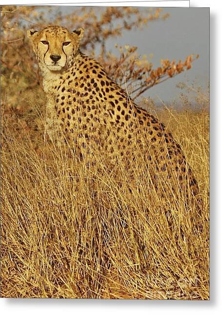 Cheetah On Watch Greeting Card by Tom Cheatham