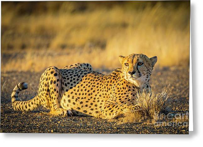 Cheetah Portrait Greeting Card by Inge Johnsson