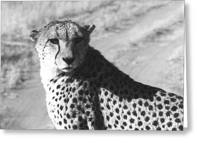 Cheetah Pose Greeting Card by Susan Chandler