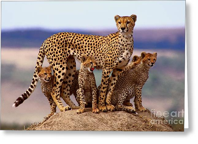 Cheetah With Cubs Greeting Card by Rolf K�pfle