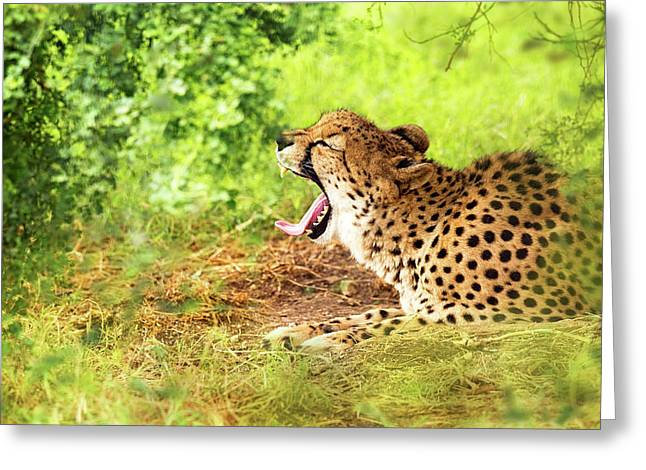 Cheetah Yawning In Woods Greeting Card by Susan Schmitz
