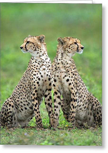 Cheetahs Acinonyx Jubatus In Forest Greeting Card by Panoramic Images