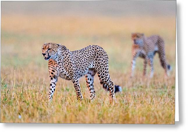 Cheetahs Acinonyx Jubatus Walking Greeting Card by Panoramic Images