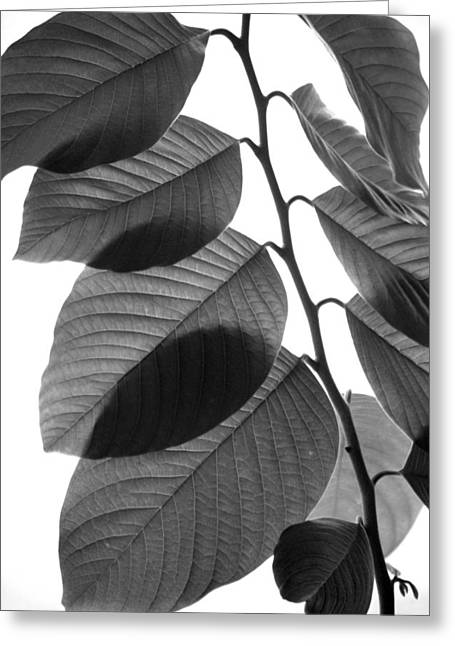 Chermoya Foliage Greeting Card by Nathan Abbott