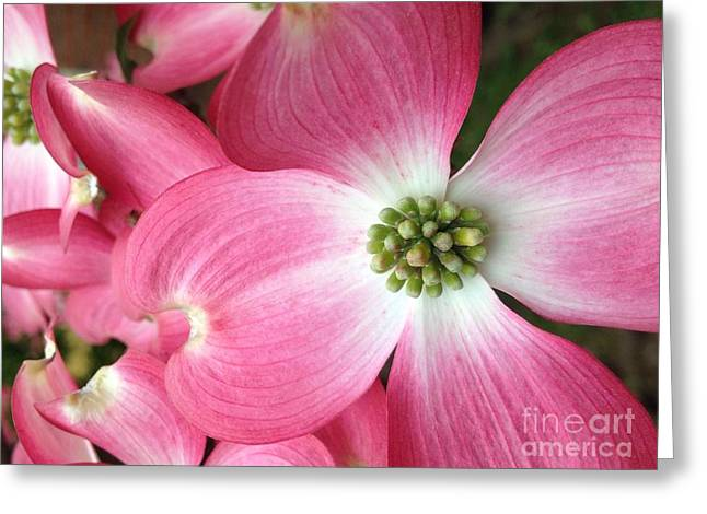 Cherokee Red Dogwood Greeting Card