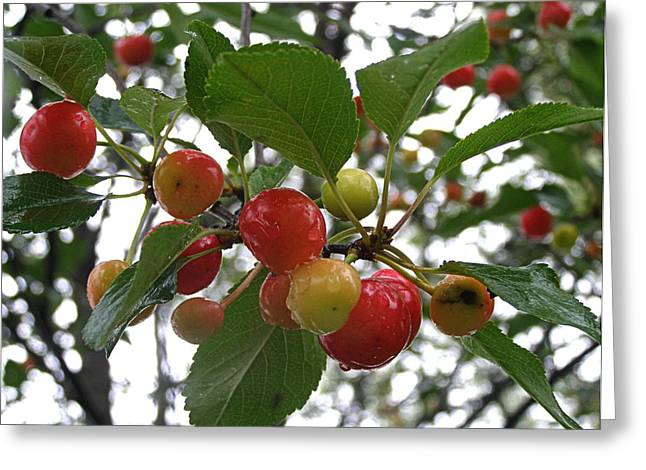 Greeting Card featuring the photograph Cherries In The Morning Rain by Angie Rea