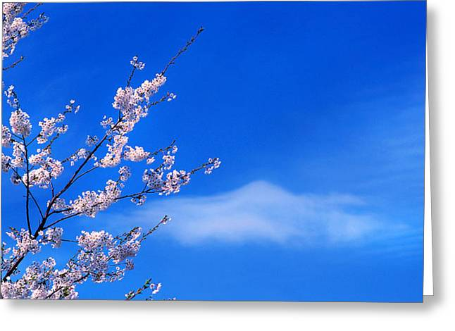 Cherry Blooms-0077 Greeting Card by Sean Shaw