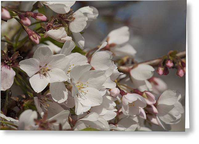 Cherry Blossom 1 Greeting Card