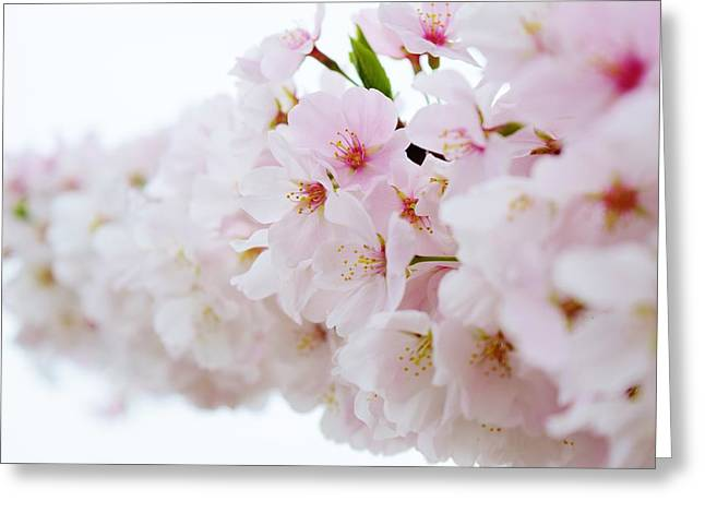 Cherry Blossom Focus Greeting Card