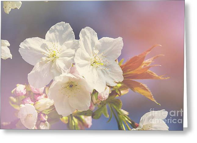 Cherry Blossom In Sunlight Greeting Card by Jane Rix