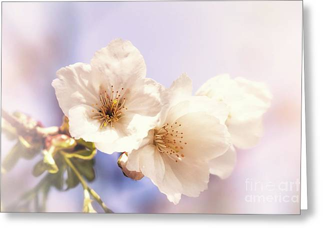 Cherry Blossom Greeting Card by Jane Rix