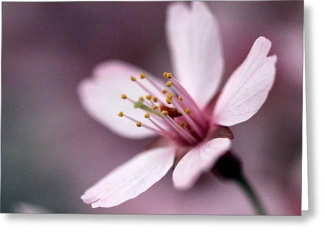 Cherry Blossom Greeting Card by Joseph Skompski