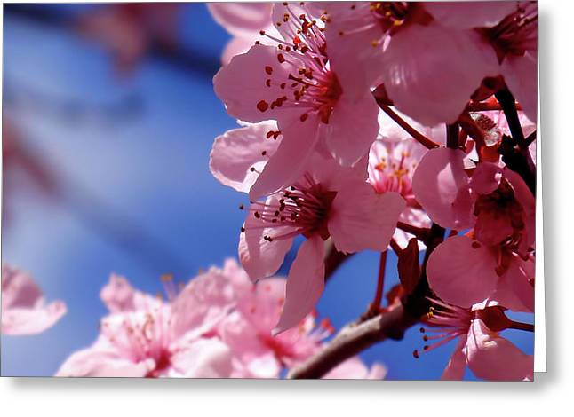 Cherry Blossom Greeting Card by Rona Black