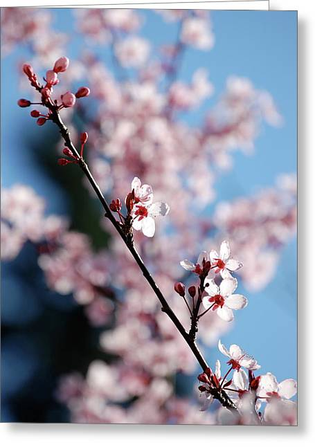 Cherry Blossom Greeting Card by Samantha Kimble