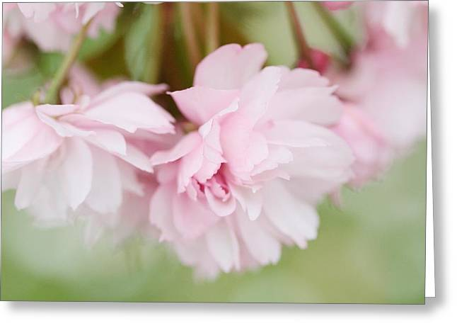 Cherry Blossom Time  Greeting Card by Connie Handscomb