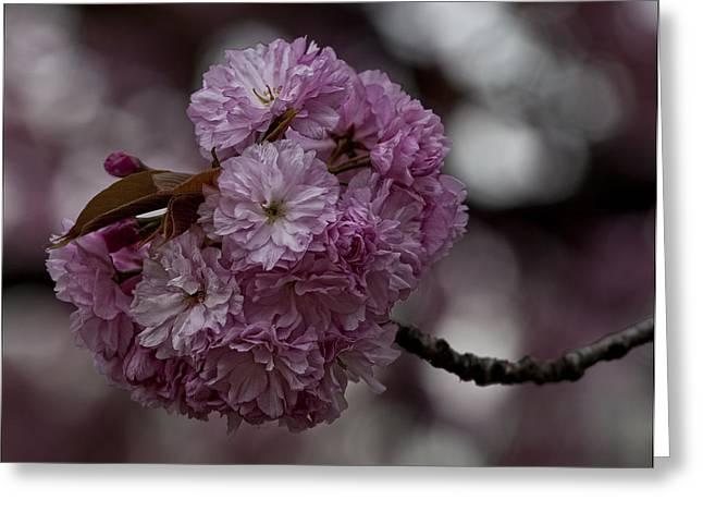Cherry Blossoms 2 Greeting Card by Robert Ullmann