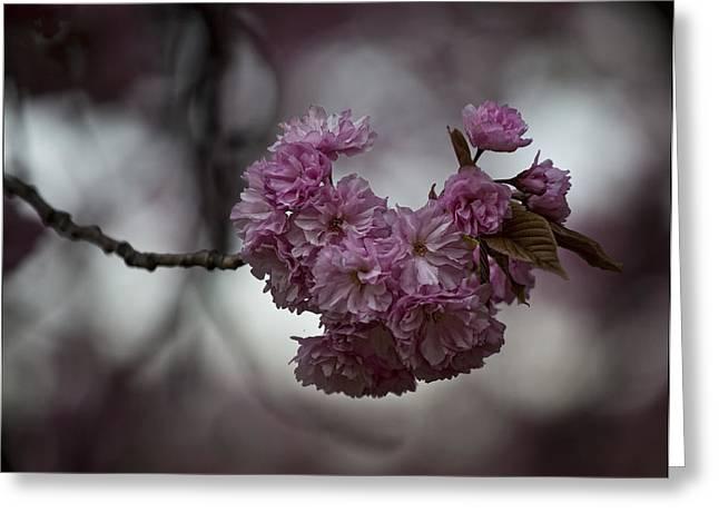 Cherry Blossoms 3 Greeting Card by Robert Ullmann
