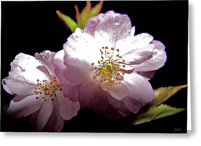 Striking Images Mixed Media Greeting Cards - Cherry Blossoms Greeting Card by Debra     Vatalaro
