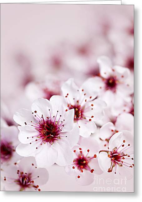 Growing Greeting Cards - Cherry blossoms Greeting Card by Elena Elisseeva
