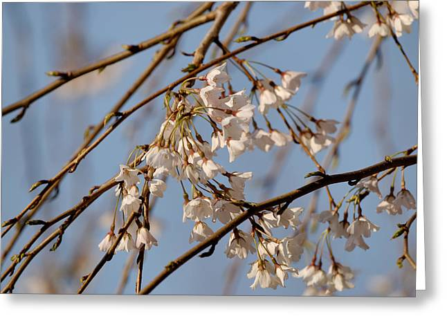 Cherry Blossoms Greeting Card by Julie Niemela