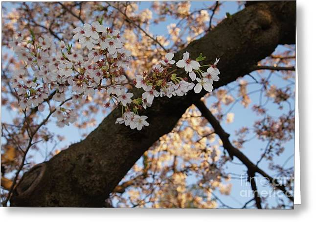 Cherry Blossoms Greeting Card by Megan Cohen