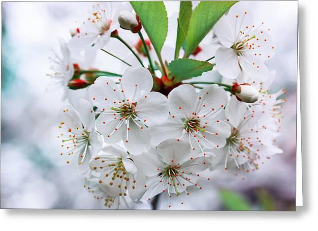 Cherry Blossoms Greeting Card by Natalya Myachikova
