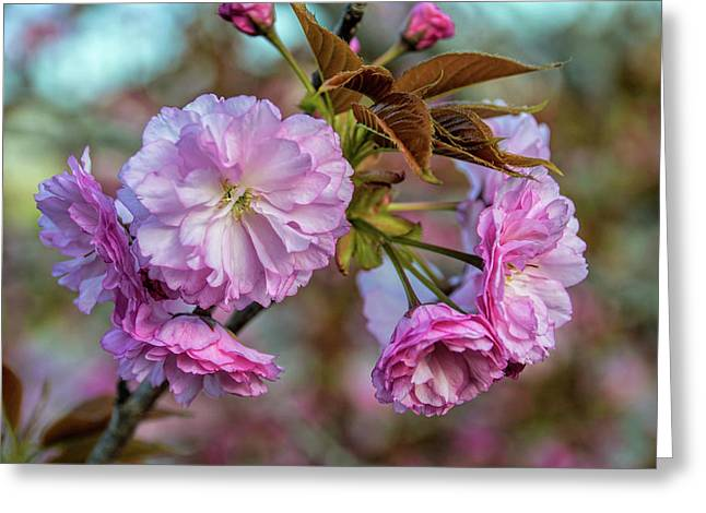 Cherry Blossoms Greeting Card by Pat Cook